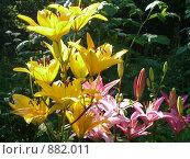 Купить «Цветы лилии», фото № 882011, снято 26 июля 2008 г. (c) Илюхина Наталья / Фотобанк Лори