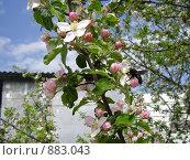 Купить «Яблоня в цвету», фото № 883043, снято 2 мая 2009 г. (c) Александр Бутенко / Фотобанк Лори