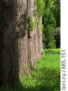 Купить «Стена из деревьев», фото № 885151, снято 24 мая 2009 г. (c) Юрий Егоров / Фотобанк Лори