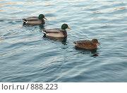 Купить «Утки на воде в пруду», фото № 888223, снято 11 ноября 2008 г. (c) Valeriy Novikov / Фотобанк Лори