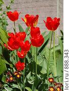 Купить «Тюльпаны», фото № 888343, снято 26 мая 2009 г. (c) Машбиц Любовь Викторовна / Фотобанк Лори