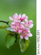 Купить «Цветы яблони», фото № 892891, снято 14 мая 2009 г. (c) Михаил Ворожцов / Фотобанк Лори