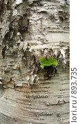 Кора березы с зелеными листочками. Стоковое фото, фотограф Марина Чурина / Фотобанк Лори