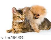 Купить «Щенок шпица с кошкой», фото № 894055, снято 26 мая 2009 г. (c) Vladimir Suponev / Фотобанк Лори