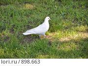 Белый голубь гуляет по траве. Стоковое фото, фотограф Наталья Самсонова / Фотобанк Лори