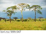 Купить «Дождливый день в африканской саванне. Три дерева», фото № 899547, снято 22 января 2008 г. (c) Знаменский Олег / Фотобанк Лори
