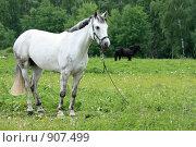 Купить «Белая лошадь», фото № 907499, снято 6 июня 2009 г. (c) Яна Королёва / Фотобанк Лори