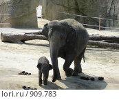 Новорожденный слоненок с мамой. Стоковое фото, фотограф Евгения Кускова / Фотобанк Лори