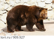 Купить «Бурый медведь. Московский зоопарк», фото № 909927, снято 8 апреля 2009 г. (c) Татьяна Белова / Фотобанк Лори