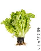 Купить «Зеленый листовой салат в горшочке», фото № 913199, снято 11 марта 2009 г. (c) Дмитрий Яковлев / Фотобанк Лори