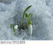 Купить «Снег не помеха цветению», фото № 913503, снято 21 февраля 2009 г. (c) Людмила Жмурина / Фотобанк Лори