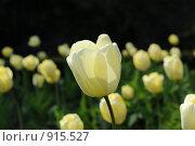 Купить «Белые тюльпаны», фото № 915527, снято 19 апреля 2008 г. (c) Татьяна Кахилл / Фотобанк Лори