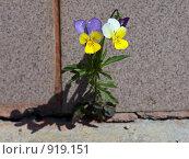 Купить «Анютины глазки на фоне бетонной стены», фото № 919151, снято 24 апреля 2018 г. (c) Парушин Евгений / Фотобанк Лори