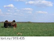 Отара овец на поле. Стоковое фото, фотограф Агибалова Кристина / Фотобанк Лори