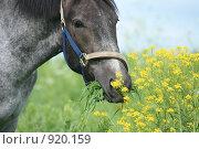 Купить «Лошадь в поле», фото № 920159, снято 14 июня 2009 г. (c) Яна Королёва / Фотобанк Лори