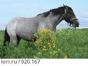 Купить «Кобыла в поле», фото № 920167, снято 14 июня 2009 г. (c) Яна Королёва / Фотобанк Лори