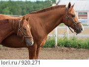 Купить «Лошади на конюшне», фото № 920271, снято 14 июня 2009 г. (c) Яна Королёва / Фотобанк Лори