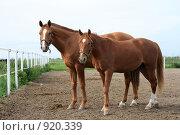 Купить «Пара гнедых лошадей», фото № 920339, снято 14 июня 2009 г. (c) Яна Королёва / Фотобанк Лори