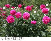 Купить «Темно-розовые  пионы», фото № 921671, снято 19 мая 2009 г. (c) Наталья Волкова / Фотобанк Лори