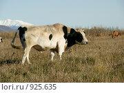Купить «Бык», фото № 925635, снято 9 октября 2008 г. (c) Анатолий Никитин / Фотобанк Лори
