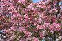 Яблоня цветет, эксклюзивное фото № 932391, снято 15 мая 2009 г. (c) Наталья Волкова / Фотобанк Лори