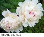 Купить «Два махровых белых пиона с каплями дождя на лепестках», фото № 937603, снято 21 июня 2009 г. (c) Илюхина Наталья / Фотобанк Лори