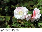 Белая роза. Стоковое фото, фотограф Татьяна Кахилл / Фотобанк Лори