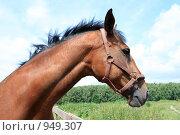 Купить «Лошадь», фото № 949307, снято 29 июня 2009 г. (c) Яна Королёва / Фотобанк Лори