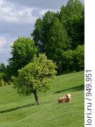 Корова на лугу. Стоковое фото, фотограф Анна Фролова / Фотобанк Лори