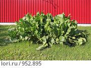 Купить «Хрен обыкновенный (Armoracia rusticana), или деревенский», фото № 952895, снято 28 июня 2009 г. (c) Владимир Сергеев / Фотобанк Лори