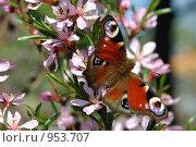 Купить «Бабочка на цветущем миндале», фото № 953707, снято 9 мая 2009 г. (c) Олег Рыбаков / Фотобанк Лори
