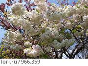 Сакура. Стоковое фото, фотограф Жанета Карелина / Фотобанк Лори