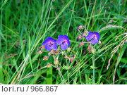 Луговые цветы. Стоковое фото, фотограф Виталий Пушков / Фотобанк Лори