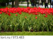 Тюльпаны. Стоковое фото, фотограф Ирина Величинская / Фотобанк Лори