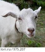Купить «Улыбающаяся коза», фото № 975207, снято 22 июня 2009 г. (c) Бондаренко Олеся / Фотобанк Лори