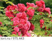 Красные плетистые розы на ограде. Стоковое фото, фотограф Алина / Фотобанк Лори