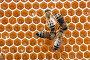 Пчелы за работой, фото № 976979, снято 29 июня 2009 г. (c) Андрей Давиденко / Фотобанк Лори