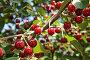 Красная вишня (малая глубина резкости), фото № 977379, снято 19 июня 2009 г. (c) Игорь Долгов / Фотобанк Лори
