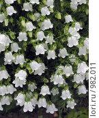 Купить «Белый карпатский колокольчик цветёт на даче под дождём», эксклюзивное фото № 982011, снято 25 июня 2009 г. (c) Тамара Заводскова / Фотобанк Лори