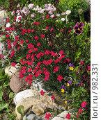 Купить «Клумба с красными гвоздиками», эксклюзивное фото № 982331, снято 23 июня 2009 г. (c) Тамара Заводскова / Фотобанк Лори