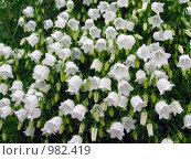 Купить «Белый карпатский колокольчик цветёт на даче под дождём», эксклюзивное фото № 982419, снято 24 июня 2009 г. (c) Тамара Заводскова / Фотобанк Лори