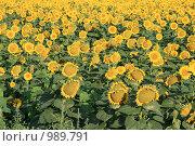 Купить «Поле подсолнухов», фото № 989791, снято 13 июля 2009 г. (c) Иван Демьянов / Фотобанк Лори