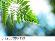 Купить «Ветвь папоротника», фото № 990199, снято 19 июля 2009 г. (c) Raev Denis / Фотобанк Лори