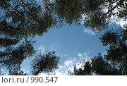 """Купить «Лесной """"двор-колодец"""". Взгляд снизу на вершины сосен», фото № 990547, снято 21 июля 2009 г. (c) Заноза-Ру / Фотобанк Лори"""