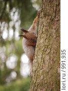 Купить «Белка на дереве», фото № 991935, снято 11 апреля 2009 г. (c) Анастасия Некрасова / Фотобанк Лори