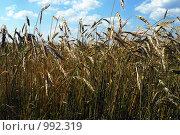 Колосья пшеницы. Стоковое фото, фотограф Юлия Букликова / Фотобанк Лори