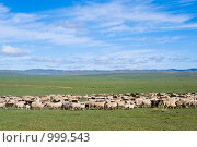 Купить «Смешанное стадо из коз и овец пасется в зеленой степи на фоне голубого неба», фото № 999543, снято 16 июня 2009 г. (c) Александр Подшивалов / Фотобанк Лори