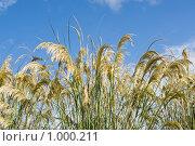 Купить «Кортадерия - пампасная трава», фото № 1000211, снято 3 июля 2009 г. (c) Татьяна Кахилл / Фотобанк Лори