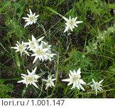 Купить «Эдельвейс бледно-жёлтый скученный Leontopodium ochroleucum, ssp. conglobatum (Turzc.)», фото № 1001147, снято 18 июля 2008 г. (c) Валерий Лаврушин / Фотобанк Лори