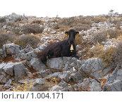 Смешной козел с колокольчиком сидит на скале, растопырив ноги в разные стороны. Стоковое фото, фотограф Pavel S. Popov / Фотобанк Лори